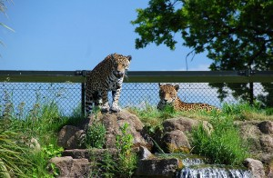 800px-ChesterZooJaguars